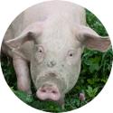 Köp allt för gris online på Granngården.se