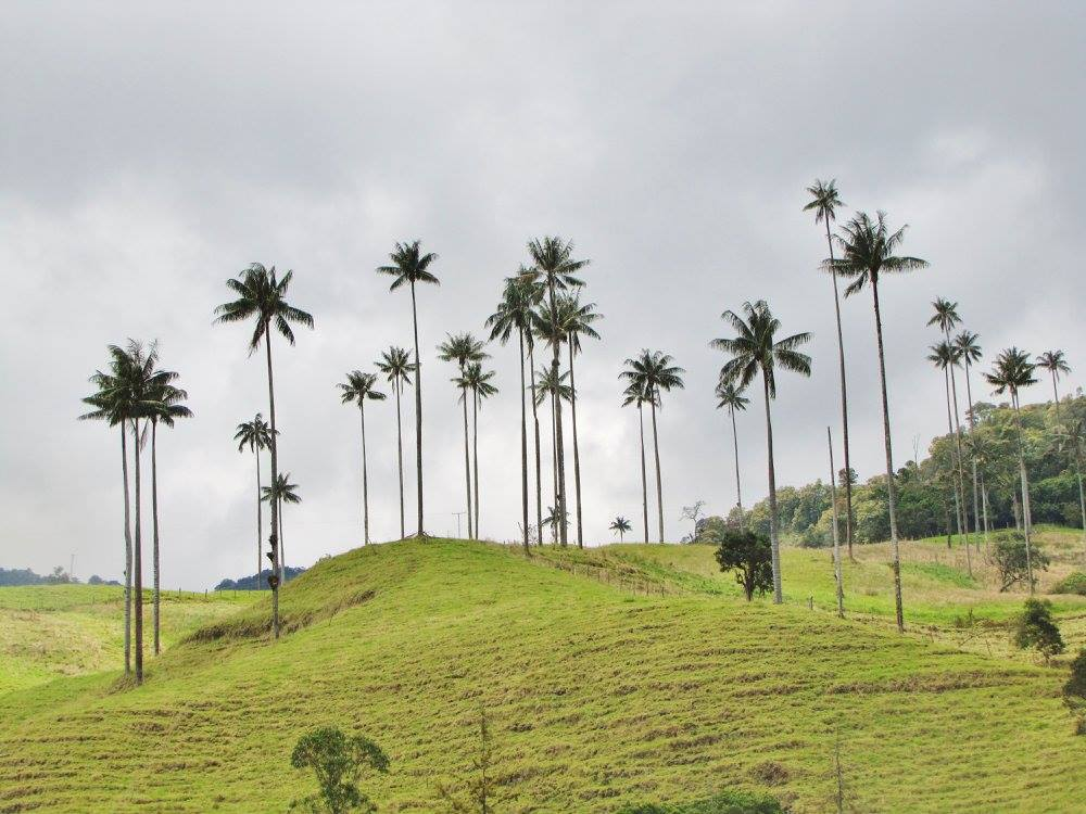 Colombia wax palm, a national tree