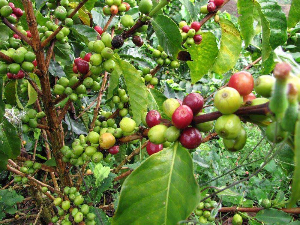 Colombia red and green coffee cherries