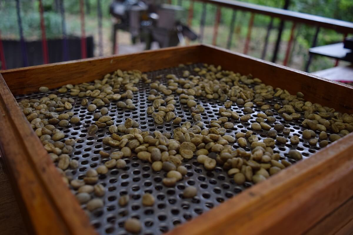 Colombia coffee extracted beans out of the cherries