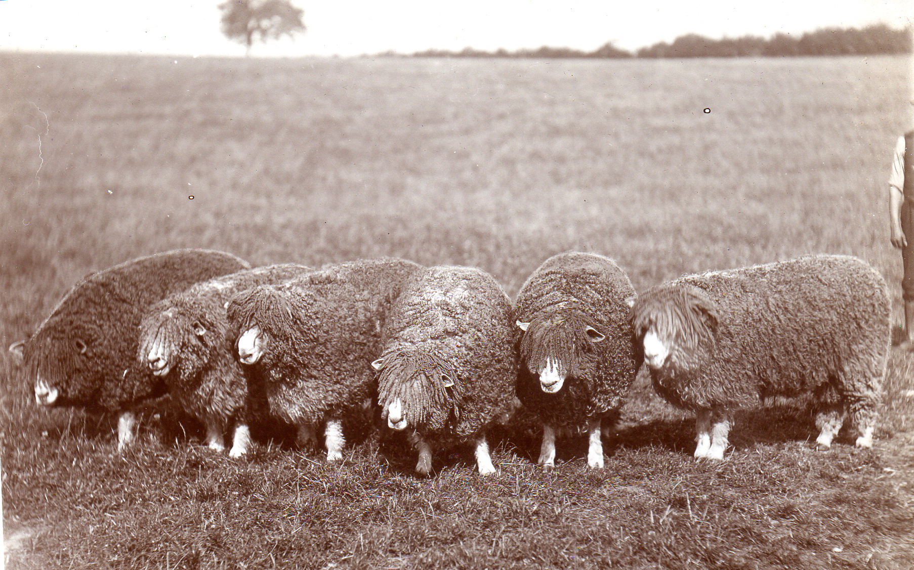 1927 shearing rams for shows.jpg