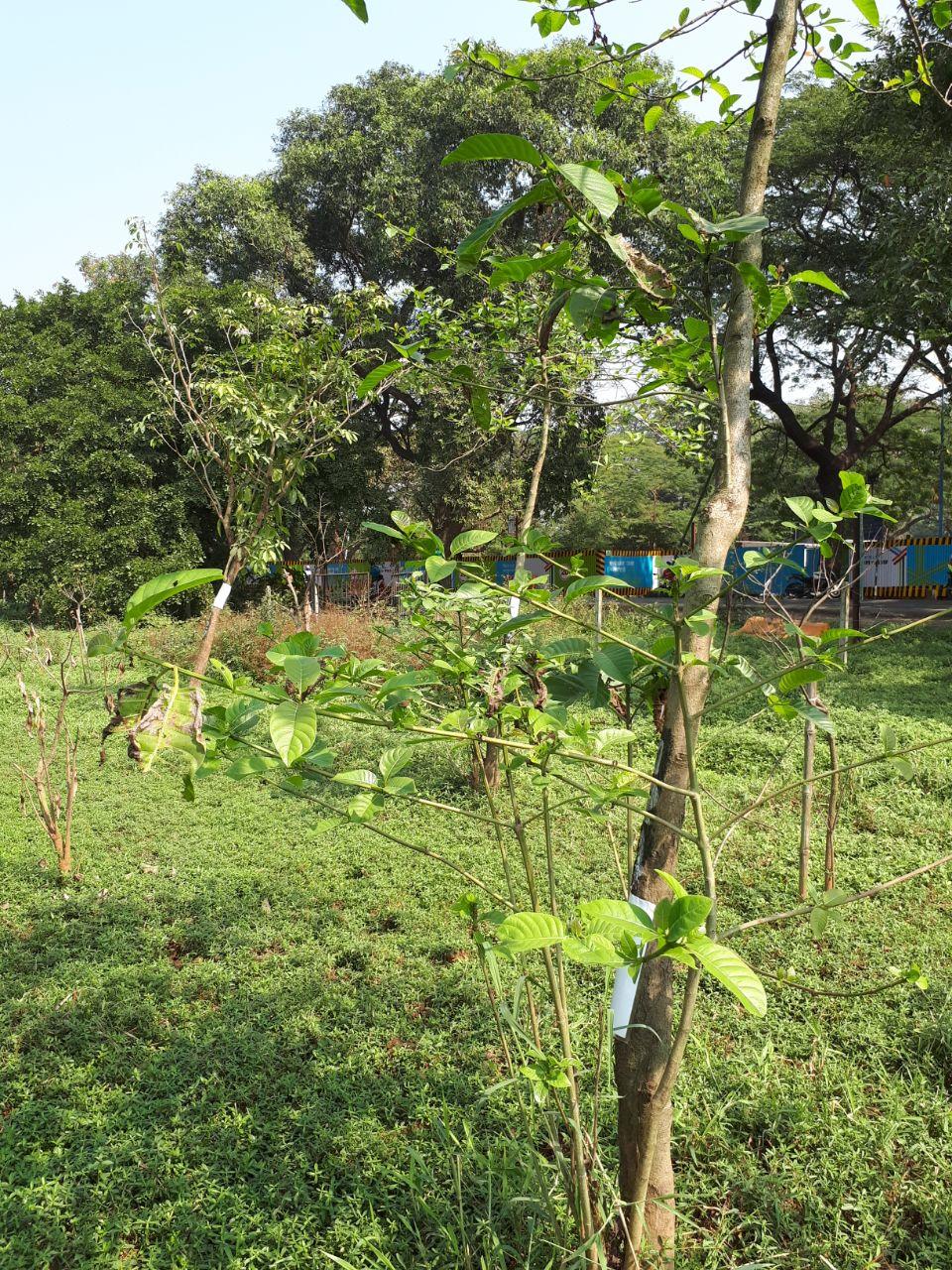 धक्कादायक! पुनर्रोपित झाडांची होणार कत्तल? एमएमआरसीचा प्रताप