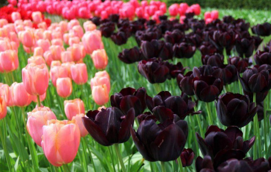 tulips_spb.jpg