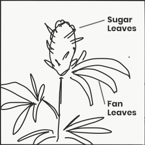 Anatomy of Cannabis Plant - Fan and Sugar Leaves
