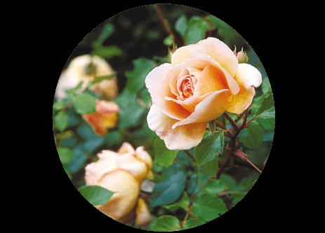 Köp rosor online på granngården.se
