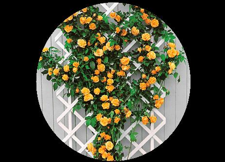 Köp klätterväxter online på granngården.se
