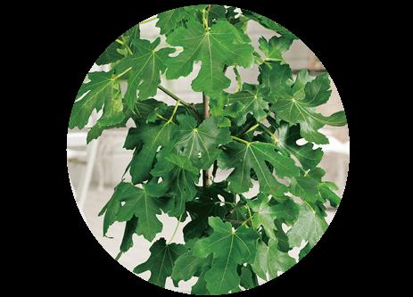 Köp medelhavsväxter online på granngården.se