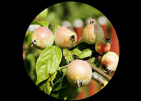 Köp fruktträd online på granngården.se