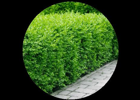Köp häckplantor online på granngården.se
