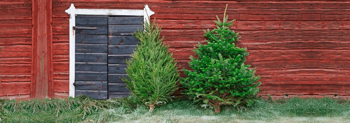 Köp julgranar Kungsgran och Rödgran hos Granngården!