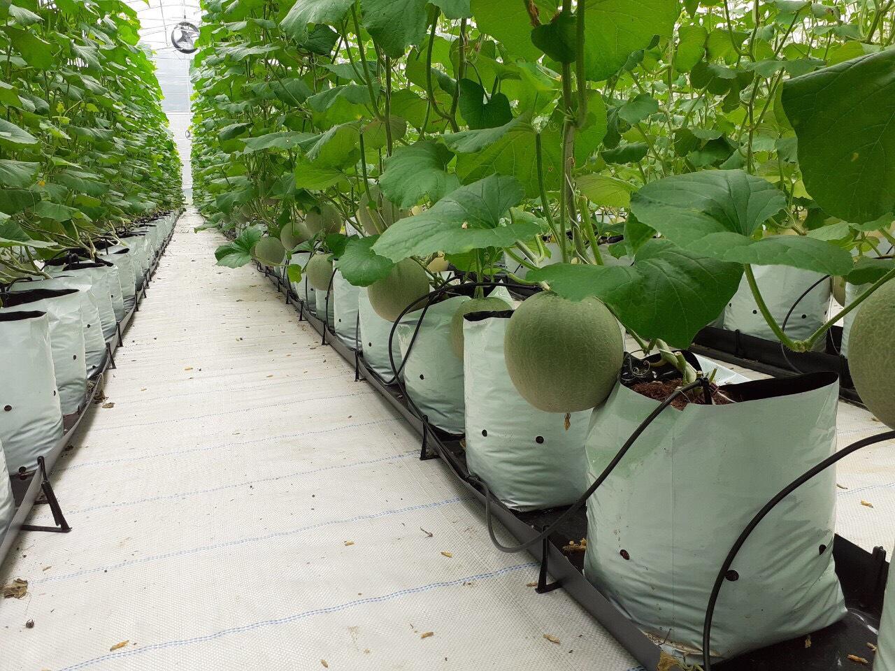 Nhà màng trồng dưa lưới Tây Ninh.jpg