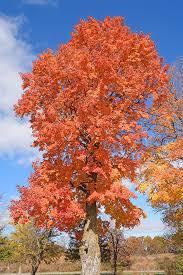 sugar maple tree in Michigan