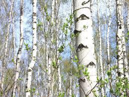 paper birch tree in Michigan