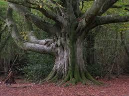 beech tree in Michigan