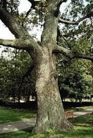 black oak tree Michigan
