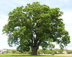 tree white oak in Michigan