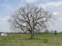 bur oak tree in Michigan