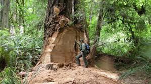 white cedar tree in Michigan. Possible biggest tree in Michigan.