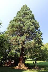 sequoia trees michigan