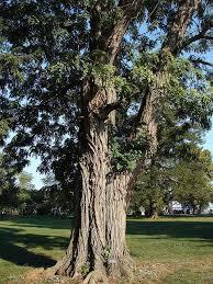 black locust trees in Michigan