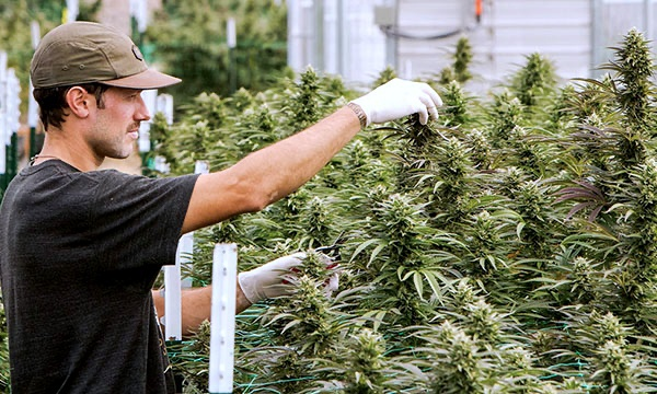 cannabis farm.jpg